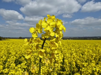 Oilseed rape at Hints