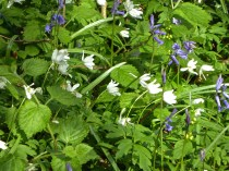 Bluebells and possible Wood Anemone at Hopwas Hayes Wood