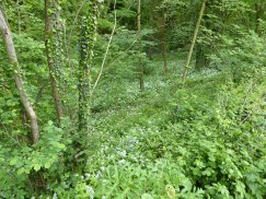Wild Garlic just off the Cromford Canal