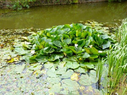 Waterlillies on canal, Pleck, Walsall, West Midlands, 16:57pm Tuesday 25th August 2009