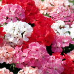 Geraniums_BrownMamas
