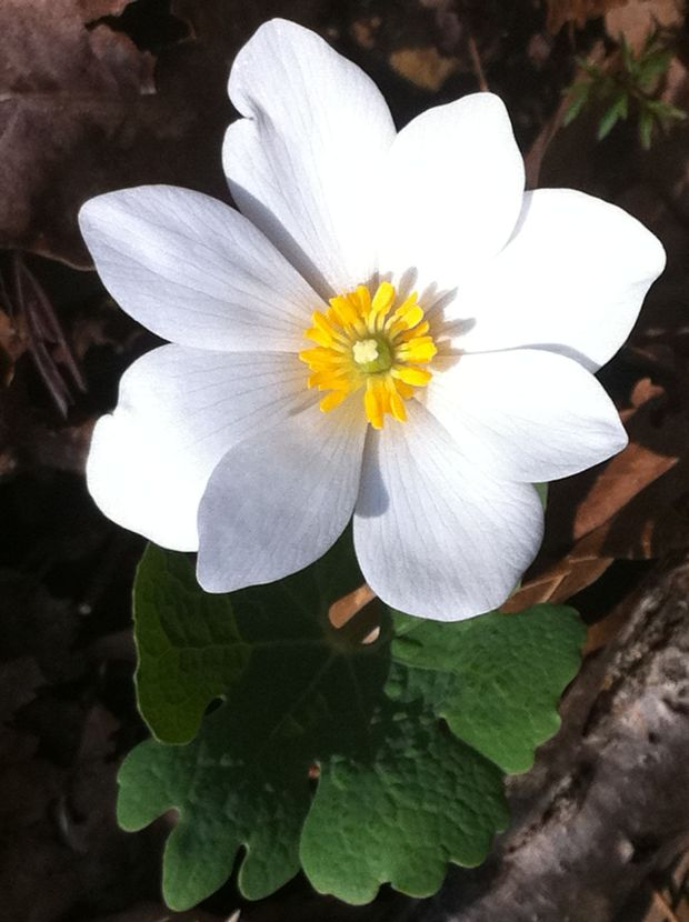 It may surprise you to discover that Bloodroot bears the purest snow-white petals, set off by a lemon yellow center of stamens.
