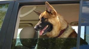 German shepherd dog looking out a car window