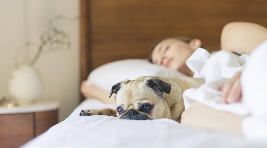 Pug on bed with sleeping owner