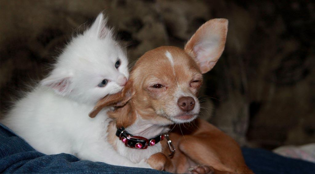 Cat grooming dog's ear