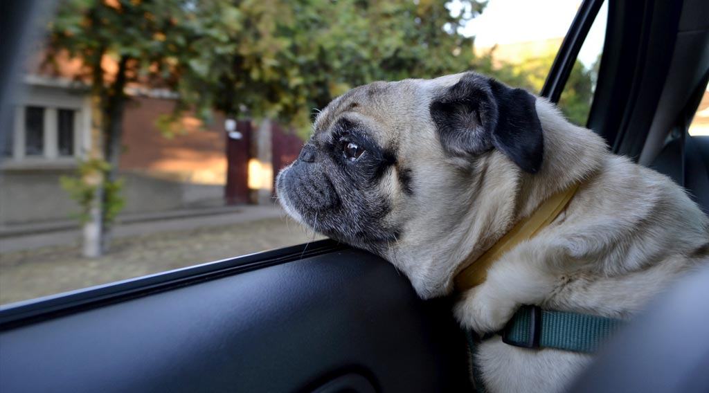 Pug dog with chin resting on a car window frame