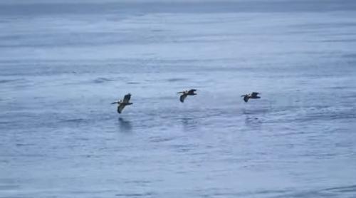 波を利用して飛ぶペリカンがいる