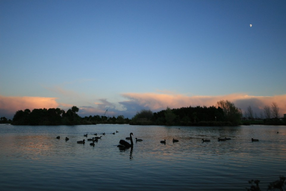 pond at sunrise with moon, ducks and swan