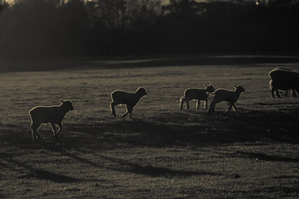 sheep and lambs at sunrise with white outer glow