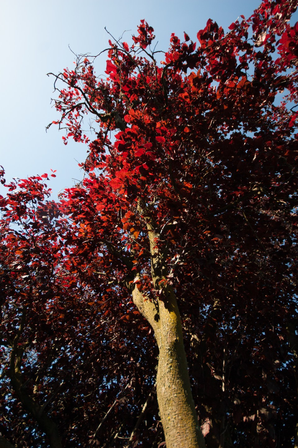 trees red leaves lit up by the sun glowing red