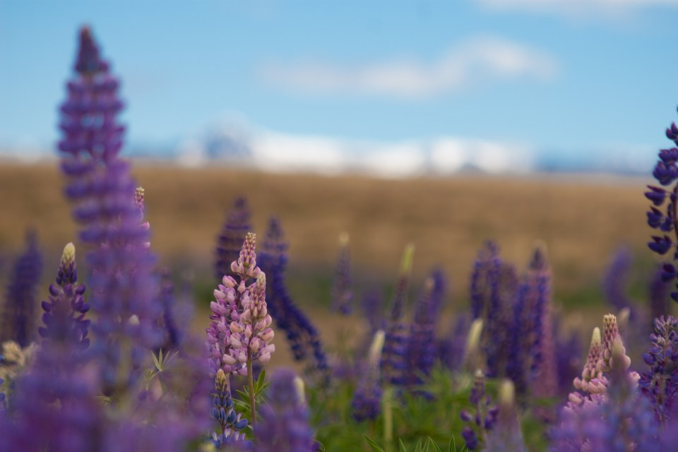 lupins with snowy mountain peaks