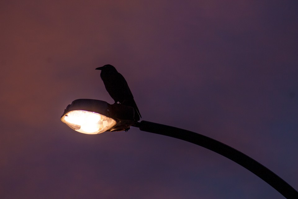crow sitting on street lamp
