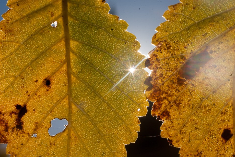 two leaves in autumn with the sun shining through