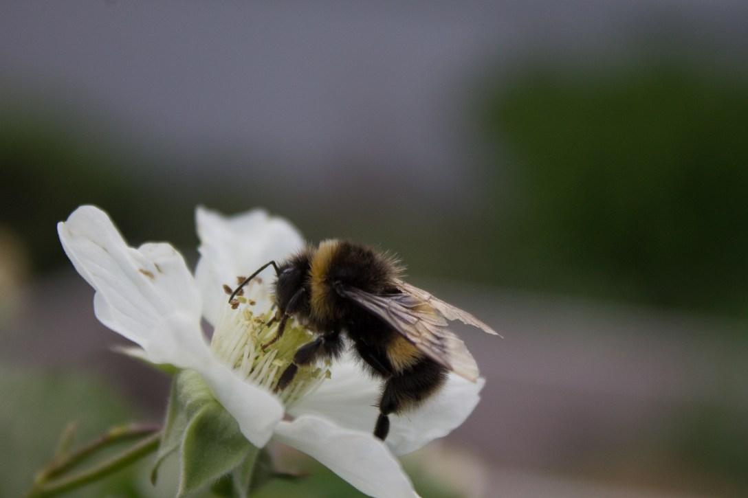 bee boysenberry flower