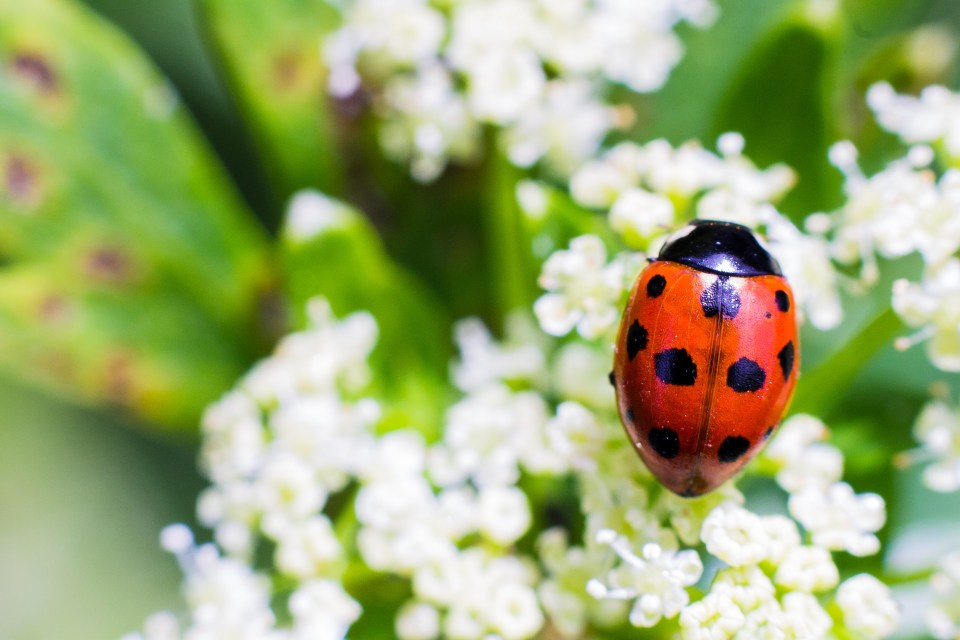 ladybug, white, flowers, red, flowers, insect