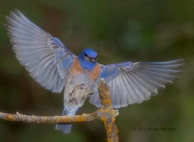 Male Western Bluebird Spreads Wings As He Prepares To Land On Perch