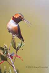 Male Allen's Hummingbird Calls Out From Perch