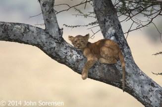 Lion Cub in A Tree