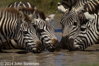 Plains Zebra Drinking
