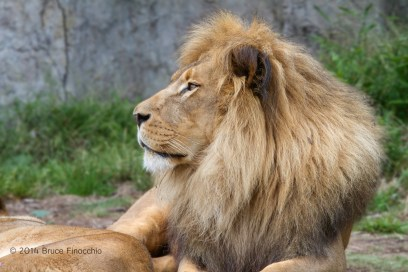 Majestic Male Lion