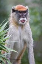 Male Patus Monkey Sticks Out Tongue
