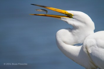 Within The Egret's Beak
