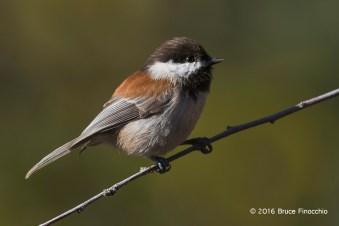 An Alert Chestnut-backed Chickadee On A Perch