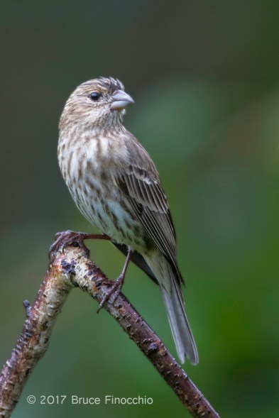 Female House Finch On Triangle Branch Perch