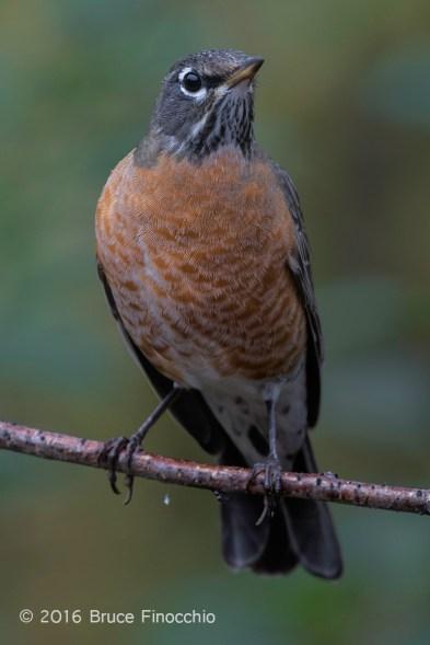 Female Robin In The Rain