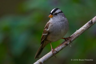 White-crowned Sparrow Poses On A White Bark Branch
