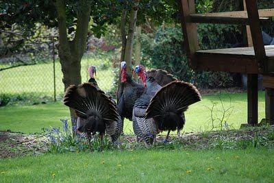 turkeys discussing