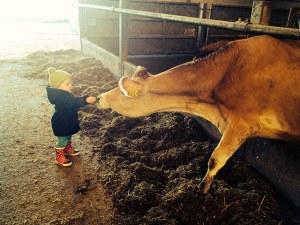 toddler feeding a cow