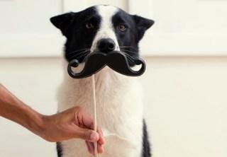 border collie halloween mustache