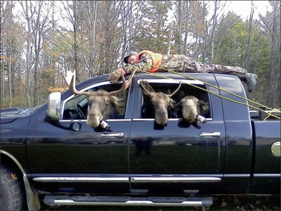 hunting Mooseheads