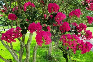 Crepe Myrtle at Bruce Miller Nurseries, serving Dallas-Fort Worth Gardening, Landscaping and Tree-Planting Needs.