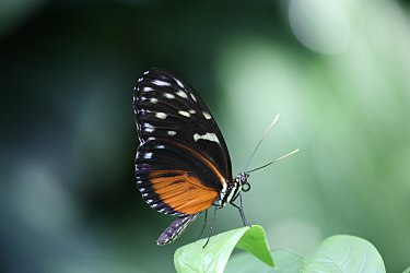 Brown Longwing (Heliconius hecale)