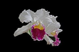 Cattleya Mildred Reves 'Orchidglade'