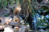 squirrel at pond