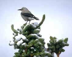 bluebird_blue_spruce