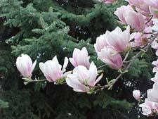 Magnolia_Saucer_Norway_Spru