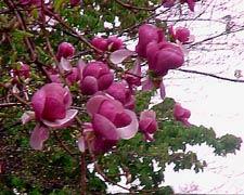 Magnolia_Soulangiana_Nigra
