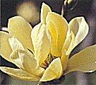 Magnoliabutterflies