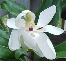 Magnoliaedith