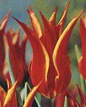 Aladdin_lily_flowering_tuli