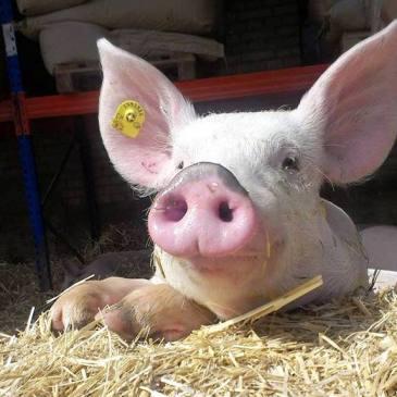 Jetzt Schweinefleisch bestellen