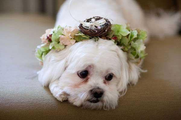 Hond als ringendrager