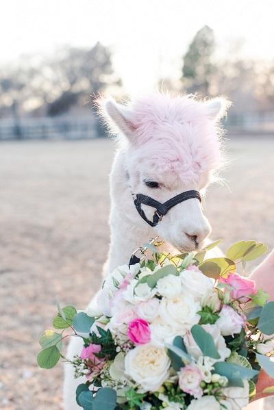 Alpaca met bruidsboeket