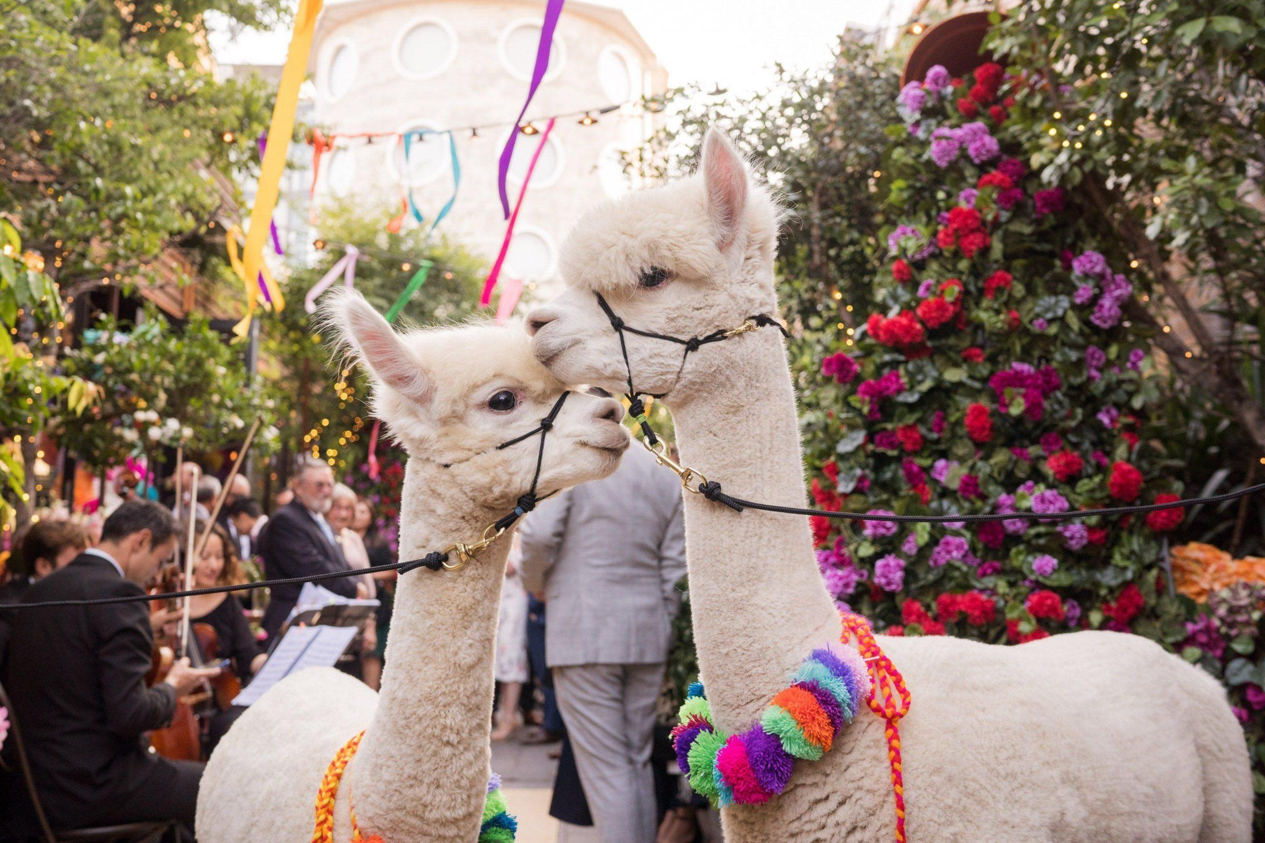 Peruaanse bruiloft met alpaca's