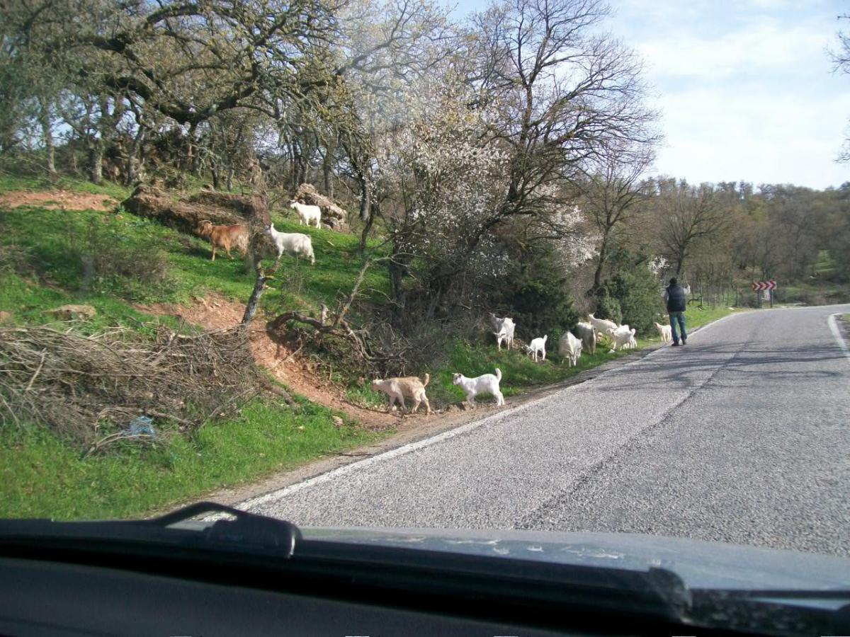Turkey Tourism: Sheep in the Back of a Truck Between Konya and Nevsehir