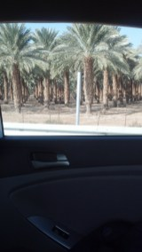 Date palms along the road near the Dead Sea.